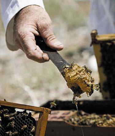 恐龙蜜蜂数量灭绝正在狮怎么剧减的图片